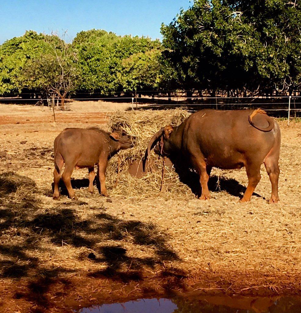Bernie and Bill the resident Buffalos