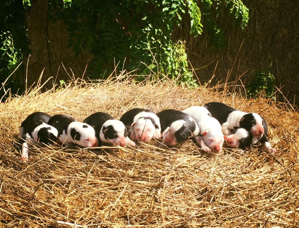 A recent litter of pedigree pups