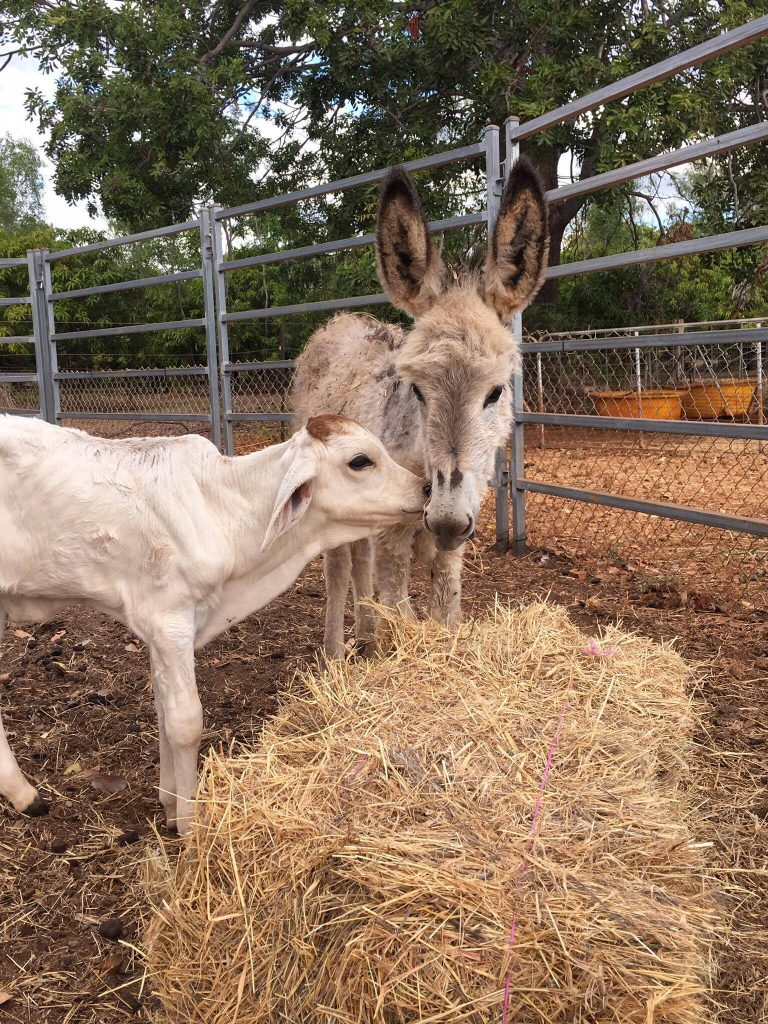 Daphne the Donkey with her BFF Buttercup the calf